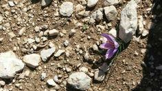 E la nascita dei fiori di #zafferano ha inizio, anche tra le pietre...