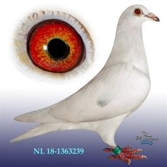 Pigeon Eyes, Racing Pigeons, Colours, Bird, Pigeon, Birds