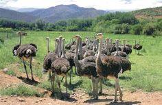 Ostrich farm in Oudtshoorn, Garden Route, S.Africa - great fun!