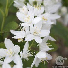 Deutzia gracilis : H 40/50 cm ctr 5 litres.
