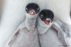 gentoo penguins    (photo by richard sidey)