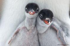 gentoo penguins    (photo by richard sidey)
