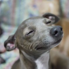 Love this look of an Italian Greyhound. Cute Puppies, Cute Dogs, Dogs And Puppies, Animals And Pets, Funny Animals, Cute Animals, Yorkies, Raza Chihuahua, Grey Hound Dog