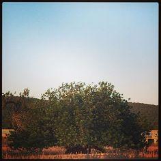 #CamilaRaznovich Camila Raznovich: Wisdom tree #wow #awesome #ibiza #magicisland #laislabonita #sunset #currentmood #ohyeah #friends #summertime