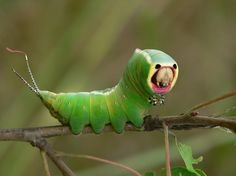 "Puss Moth Caterpillar: if the caterpillar is touched anywhere on its body, it will instantly turn its ""face"" directly towards the attacker. Touch it somewhere else, and the head follows you, like a Mona Lisa from hell. And if that doesn't work, it can always spray out a mist of formic acid from the two horns on its back."