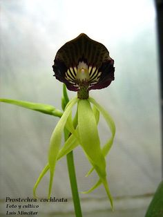 Orchid-Mimicry: Prosthechea cochleata - Flickr - Photo Sharing! Strange Flowers, Unusual Flowers, Beautiful Flowers Garden, Unusual Plants, Rare Flowers, Exotic Plants, Amazing Flowers, Gothic Garden, Rare Orchids