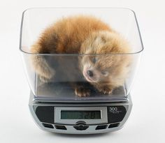 The Birmingham Zoo in Alabama is now home to the first Red Panda cubs born in the US this year.