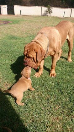 The four breeds most commonly called Mastiffs are the English Mastiff, the Neapolitan Mastiff, the Bull Mastiff and the Tibetan Mastiff. French Bull Mastiff, French Mastiff Puppies, British Mastiff, English Mastiff, Giant Dog Breeds, Giant Dogs, Large Dog Breeds, Best Dog Breeds, Doge