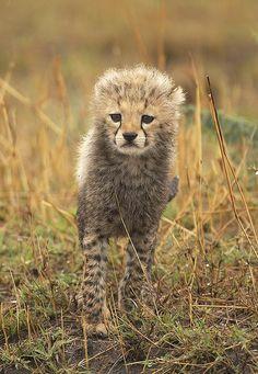 Baby Cheetah - Pixdaus