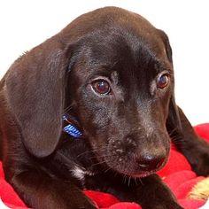 Glastonbury, CT - Labrador Retriever Mix. Meet Miles, a puppy for adoption. http://www.adoptapet.com/pet/16415482-glastonbury-connecticut-labrador-retriever-mix