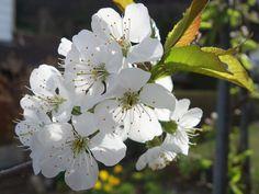 Kirschblüte, cherry blossom, ανθοφορία κερασιών