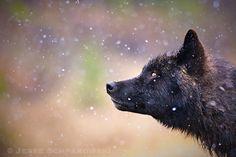 wolf112kananaskisab