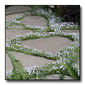 Blue star creeper - choice plant for between pavers