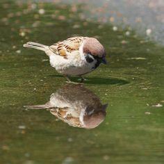 このモフモフの子は水浴びに来たのに、水面に映る自分の姿を見てうっとりとしていた。
