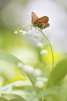 ☀Lily of the Valley with butterfly by Marek Mierzejewski www.butterfly-photos.org,