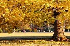 銀杏 | Flickr - Photo Sharing!
