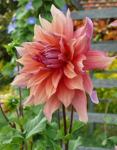 Dahlia Gardening For Dummies, Cool Plants, Summer Garden, Garden Planning, Horticulture, Trees To Plant, Beautiful Gardens, Mother Nature, Planting Flowers