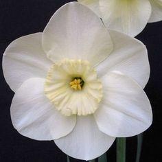 Narcissus Aircastle - Eine außergewöhnlich schöne Narzisse, die trotz ihres Alters seit mehr als 50 Jahren zu den besten ihrer Art gehört. In England findet sie immer wieder Liebhaber auf den Narzissenschauen und wird dort regelmäßig prämiert. Atemberaubend! - Online erhältlich bei www.fluwel.de