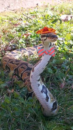 Snakes in hats.... who got close enough to put this on the snake!!!!!!! Pet Snake, Funny Animals, Baby Animals, Animals And Pets, Cute Animals, Beautiful Creatures, Animals Beautiful, Beautiful Snakes, Ball Python