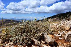 Το τσάι της Πάρνηθας (Sideritis raeseri subsp. attica) είναι ένα αρωματικό φυτό ενδημικό της Αττικής. Λόγω της σπανιότητάς του, περιλαμβάνεται στο Βιβλίο Ερυθρών Δεδομένων των Σπάνιων & Απειλούμενων Φυτών της Ελλάδας (2009).