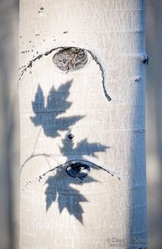 Shadows of maple leaves on an aspen tree trunk; Photo by David Schultz