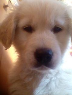 Golden puppy selfie