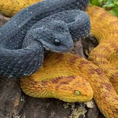 Top 10 Common Bush Viper Facts - The Snake that Looks like a Dragon?
