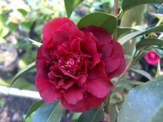 Camellia japonica 'Kokuryû' AKA 'Black Dragon' (Japan, 1859)