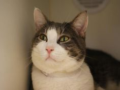 AUGUSTUS - A1063978 - - Manhattan Please Share: *** TO BE DESTROYED 02/10/16 *** HAIL CAESAR!! AUGUSTUS WOULD LIKE TO CONQUER YOUR WOLRD!! AUGUSTUS is a five year old who arrived at the ACC with ALENA (not listed) because their owner is sick…..In true Imperial form, AUGUSTUS ruled the household and is not very impressed with the ACC. They in return have given him an EXPERIENCE rating…..AUGUSTUS is a calm and friendly cat who liked to hang out with his former