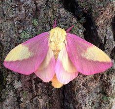 El arce rosada o el insecto que hará que te reconcilies con las polillas