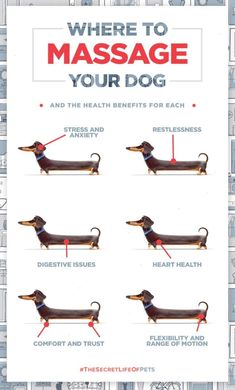 Dachshund puppies care Buddys Guide on where to massage your dog and the health benefits for each. The Secret Life of Pets In Theaters July 8 Dog Health Tips, Pet Health, Mental Health, Secret Life Of Pets, Dachshund Love, Daschund, Dachshund Puppies, Dachshund Facts, Piebald Dachshund