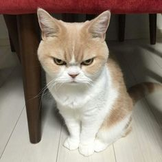 Meet Koyuki the Japanese cate that's constantly getting compared to Grumpy Cat. Koyuki and Grumpy Cat share similar facial expressions as they both try to look as miserable as possible. Who do you think does it better? Angry Animals, Funny Animals, Cute Animals, Animals Dog, Cute Kittens, Cats And Kittens, Cat Club, Gatos Cat, Cat Scottish Fold