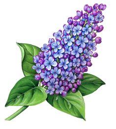 Pix For > Lilac Botanical Drawing