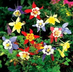 "Aquilegia (Columbine) MCKANA MIX - De Groot, Inc. Size: #1 • Hardiness: Zones 3-10 • Bloomtime: May-June  Common: Columbine • Botanical: Aquilegia • Family: Ranunculaceae  Height: 24-30"" • Spacing: 10""-15""  Flower: Large bold color mixture with long spurs.  Foliage: Lobed, blue-green foliage  Exposure: Prefers Light Shade, but will grow in the Full Sun with enough water."