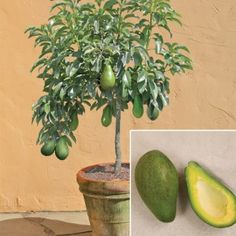 Avocado 'Day' (Persea americana) - potted fruit producer!