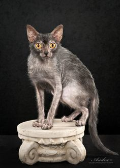 Behold the Lykoi Cat (photo by Audra Mitchell) I want one