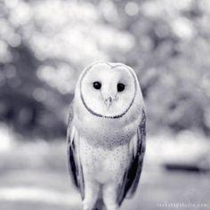 Black and White Barn Owl Photography Print:
