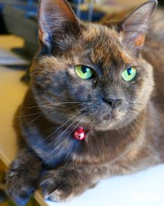 10 year-old Olivia is a sweet and social cat who would love to be your new best friend. This pretty lady loves attention from her favorite people, but prefers it on her own terms—let her sniff your hand, and once you're friends, she'll happily let you scratch her head and face.