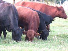 Bioalb-Weidefleisch KG | fettich.de - low carb, paleo!    Rindfleisch aus Mutterkuhhaltung in Weidebetrieb     Fleisch vom Angus-Rind - Schömberg
