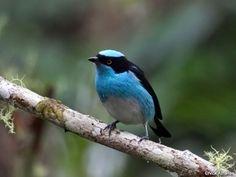 Dacnis lineata, Mielero celeste, se encuentra en Bolivia, Brasil, Colombia, Ecuador, Guayana francesa, Guyana, Perú, Surinam y Venezuela, Vive en el bosque húmedo y zonas inundables o pantanosas, a menos de 1.350 m de altitud.