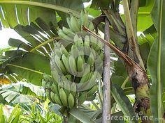 Banana tree and bunch of banana fruit