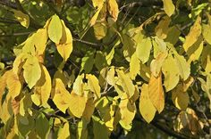 Interesting Things to Know About a Pawpaw Tree Tree Leaves, Plant Leaves, Fast Growing Plants, Grow Your Own Food, Plantation, Culture, Bane, Things To Know, Trees To Plant