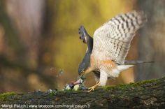 Prédation de l'Épervier d'Europe sur les oiseaux des jardins : que peut-on faire ? |  Quelques solutions pratiques pour limiter les attaques d'éperviers sur les oiseaux attirés par la nourriture mise à leur disposition (photo : Marek Paluch). #ornithologie #oiseaux #nature