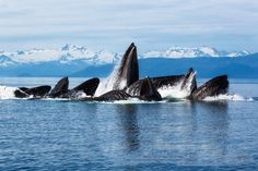 Humpback Whales Feeding in The Chatham-Strait, Alaska #PinUpLive