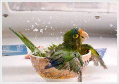 Looks like my bird Sierra....taking a bath.