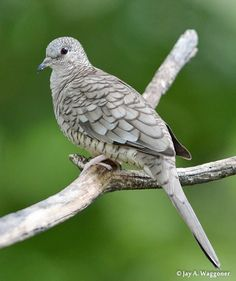 Scardafella Inca [Inca Dove].  It ranges from the southwestern United States and Mexico through Central America to Costa Rica; the Inca Dove only lives on the Pacific side of Central America.