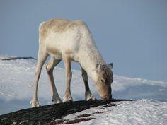 Young reindeer in Sulitjelma, Fauske