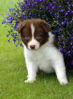 border collies | Border Collie Puppy Pictures