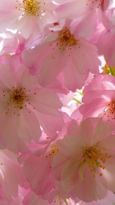 640x1136 Wallpaper japanese cherry, flowers, flowering