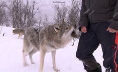 Standing up to quickly a wolf takes the action as an aggressive move, Steve was lucky & received just a nip on his hand.you can tell the wolves were happy to see their visitors. Dog Barking Video, Rare Eyes, Wolf Face, Snow Covered Trees, Wolf Photos, Beautiful Wolves, Police Dogs, Forest Friends, Best Youtubers
